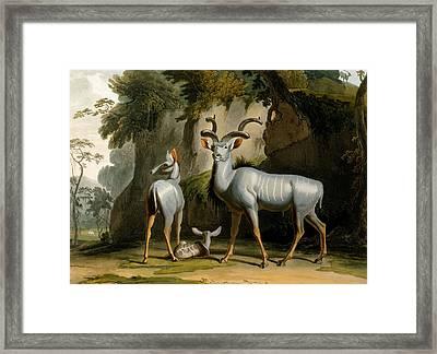 A Kudus Or Kudu Framed Print by Samuel Daniell