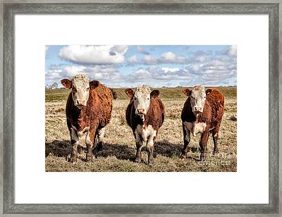 The Ladies Three Colourful Cows Framed Print by John Farnan