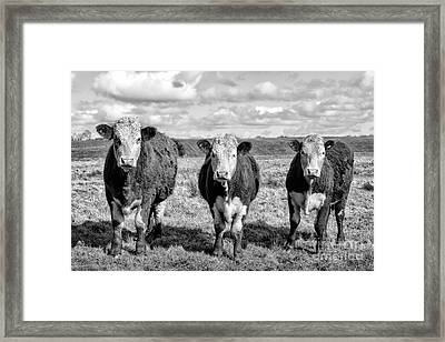 The Ladies Three Cows Framed Print by John Farnan