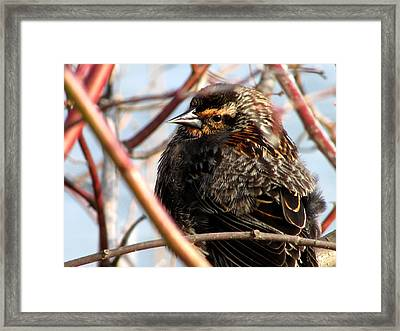 The Lady Blackbird Framed Print by Kimberly Mackowski