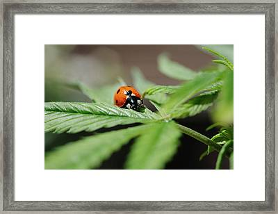 The Ladybug And The Cannabis Plant Framed Print by Stock Pot Images