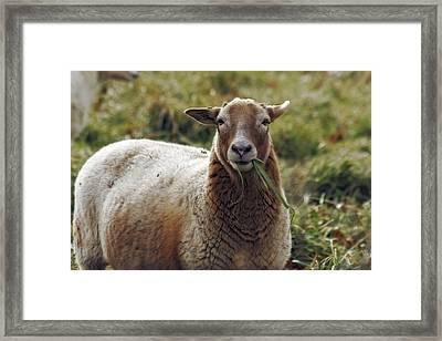 Feed My Sheep Framed Print