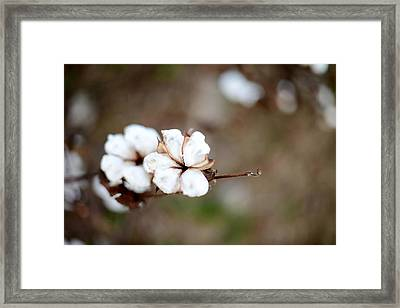 Framed Print featuring the photograph The Land Of Cotton by Linda Mishler