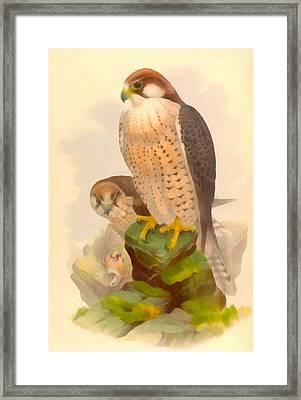 The Lanner Falcon Framed Print