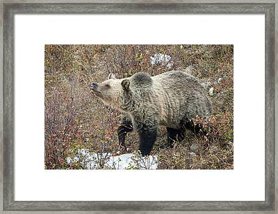 Framed Print featuring the photograph The Last Berry by Jack Bell