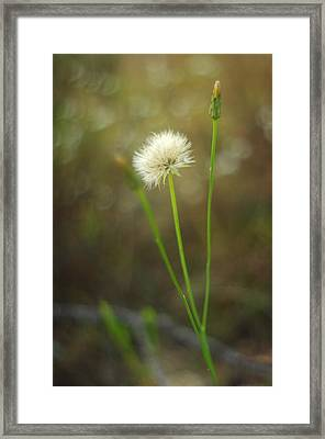 Framed Print featuring the photograph The Last Dandelion by Suzanne Powers