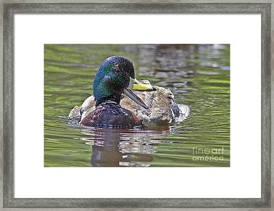 The Laughing Duck Framed Print by Sharon Talson