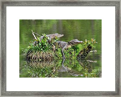 The Lazy Gators Framed Print by Kathy Baccari