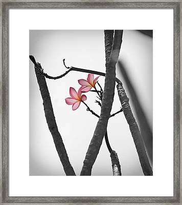 The Light Of Plumeria Framed Print by Chris Ann Wiggins