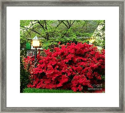 Framed Print featuring the photograph The Light Red Bush Bella by Becky Lupe