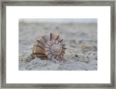 The Lightning Whelk Framed Print by Melanie Moraga