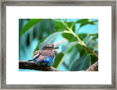 The Lilac Breasted Roller Framed Print by Karol Livote
