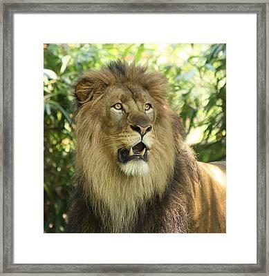 The Lion King Framed Print by Kim Hojnacki