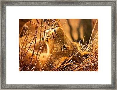The Lion Muse Framed Print by Michael Cinnamond