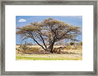 The Lion Sleeps ..... Framed Print by Juergen Klust