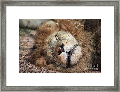 The Lion Sleeps Tonight V4 Framed Print by Douglas Barnard