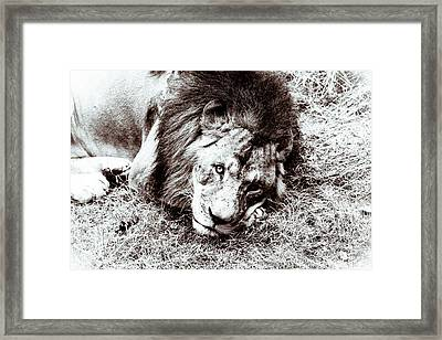 The Lion Sleeps Tonight Framed Print by Wade Brooks