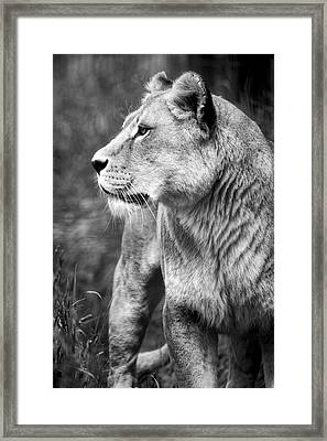 The Lioness Framed Print by Diane Dugas
