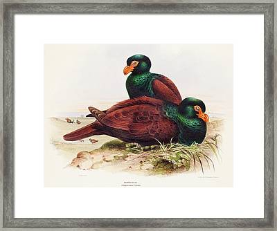 The Little Dodo Didunculus Toothed Pigeon Framed Print