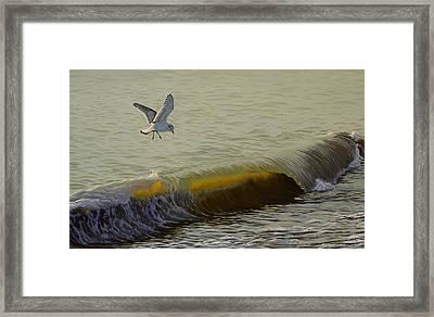 The Little Gull Framed Print