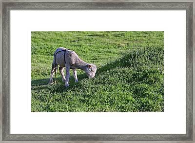 The Little Inca Lamb Framed Print by Linda Phelps