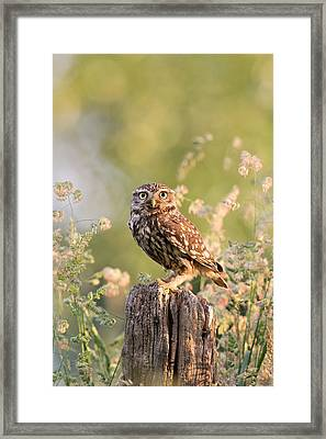 The Little Owl Framed Print by Roeselien Raimond