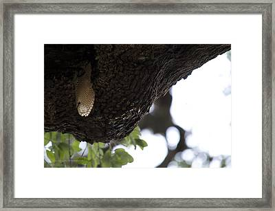 The Live Oak Framed Print