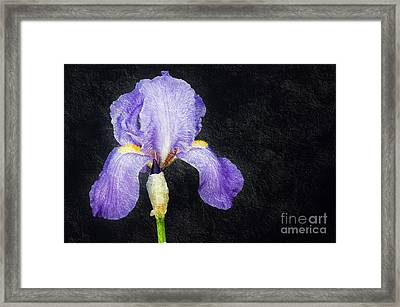 The Lone Iris Framed Print by Andee Design