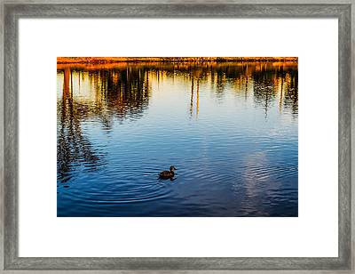 The Lonely Duck  Framed Print