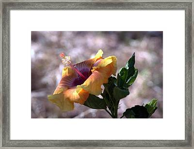 The Lonely Hibiscus Framed Print