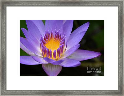 The Lotus Flower - Tropical Flowers Of Hawaii - Nymphaea Stellata Framed Print by Sharon Mau