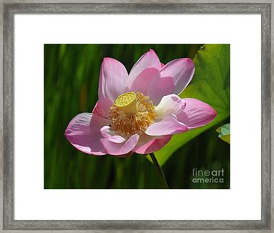 Framed Print featuring the photograph The Lotus by Vivian Christopher