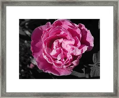 The Loveliest Rose Framed Print
