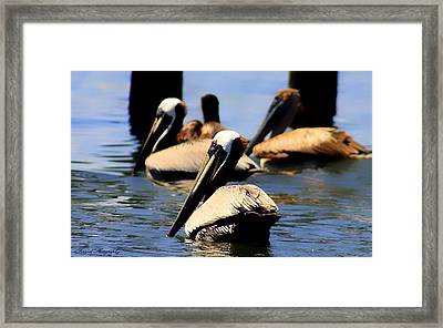The Lovely Pelican  Framed Print