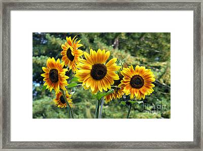 The Magic Of Sunflower Power Framed Print by Wernher Krutein
