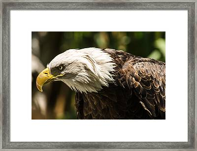Framed Print featuring the photograph The Majestic American Bald Eagle by Yeates Photography