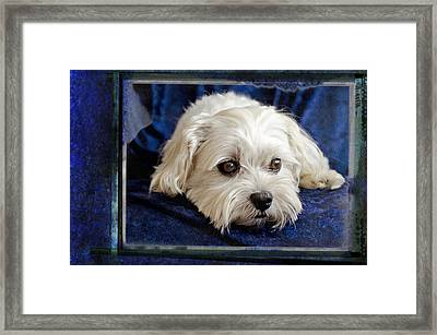 The Maltipoo Bailey On A Blue Background Framed Print by Harold Bonacquist