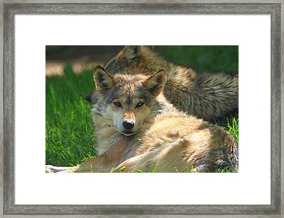 The Mexican Wolf Framed Print by Dan Sproul
