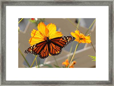 Framed Print featuring the photograph The Monarch by Cathy Donohoue