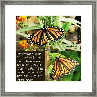 Framed Print featuring the photograph The Monarch Story by Mindy Bench