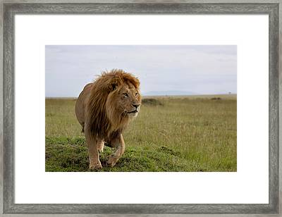 The Most Beautiful Lion Of The Masai Mara Framed Print by Maggy Meyer