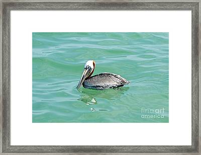 The Napping Pelican Framed Print by Margie Amberge