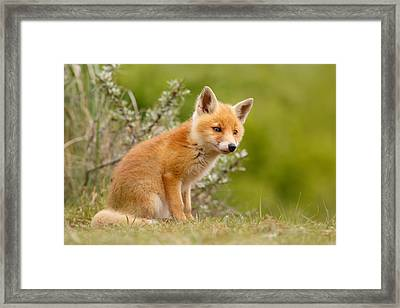 The New Kit ...curious Red Fox Cub Framed Print by Roeselien Raimond