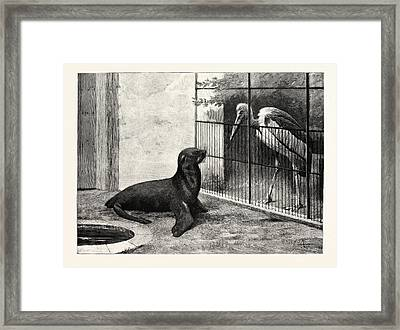 The New Neighbour Cape Sea Lion And Adjutant Bird Framed Print