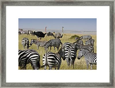 The Odd Couple Framed Print by Michele Burgess