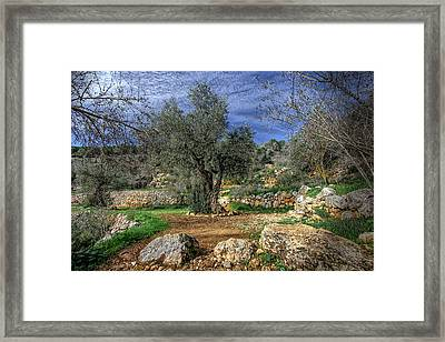 The Olive Tree Framed Print