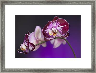 The Orchid Watches Framed Print by Jon Glaser