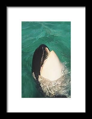 Shamu Hathaway Framed Prints
