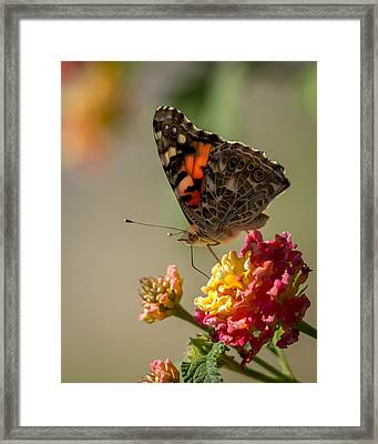 The Painted Lady Framed Print by Ernie Echols