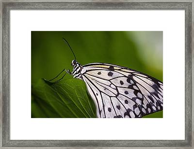 Framed Print featuring the photograph The Paper Kite Butterfly by Zoe Ferrie